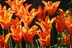 tulpen2-osterfoto21